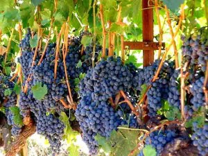 Vintage Festival Blessing of the Grapes 2015 @ The Mission San Francisco Solano  | Sonoma | California | United States